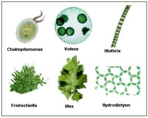 green-algae-organisms