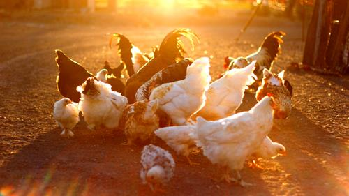 How to Reduce Negative Effects of Noise on Chickens