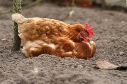 iStock_sleeping hen on soil (Copy)