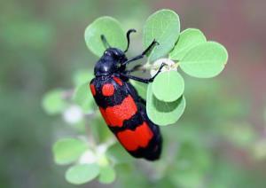 beetle (Copy)