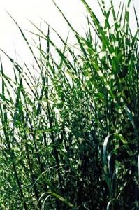 stripedgrass