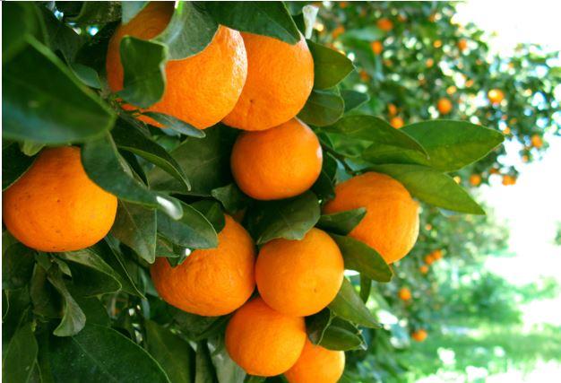 Biological control of citrus psylla