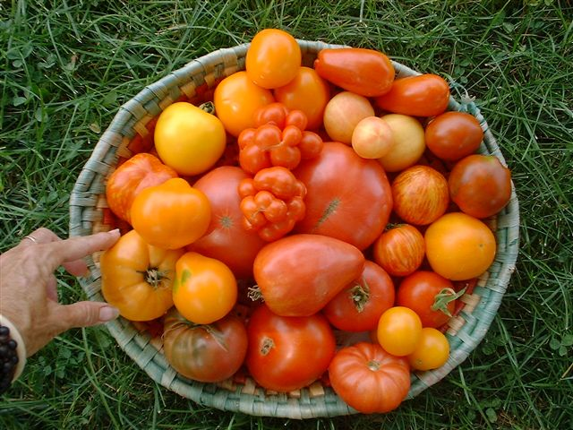 Post-harvest treatments to prolong the shelf-life of tomato