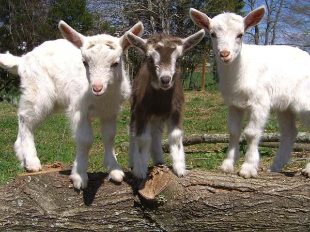 Feeding management of dairy goats in intensive system