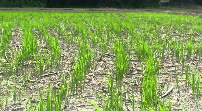 Direct Seeding Rice in Water Deficit Areas