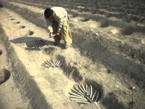 Pit Planting in sugarcane
