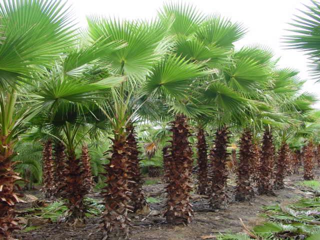 Washington Palm (Washingtonia robusta)