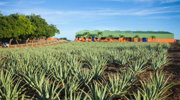 Aloe-Vera-Farming