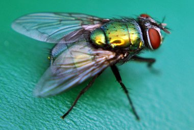 Entomological Facilitation of Post Mortem by Blowflies
