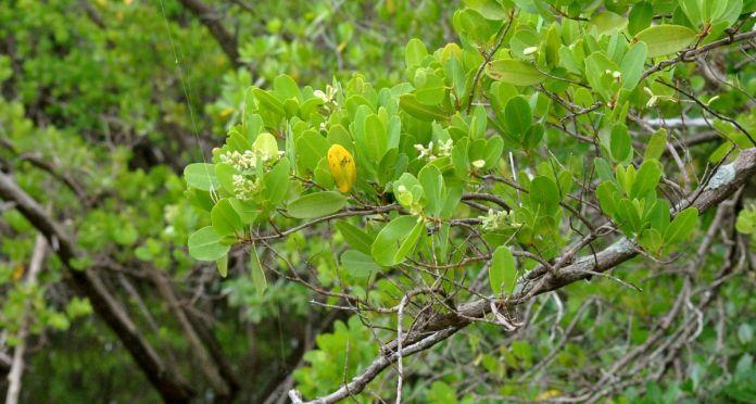white-mangrove