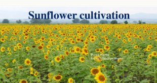 Production Technology of Sunflower