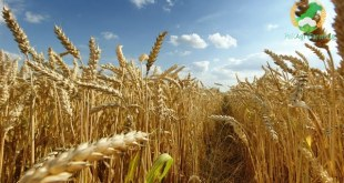 Wheat-production-technology-in-punjab-by-saad-ur-rehman-malik