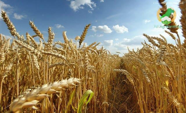 Wheat-production-technology-in-punjab-by-saad-ur-rehman-malik