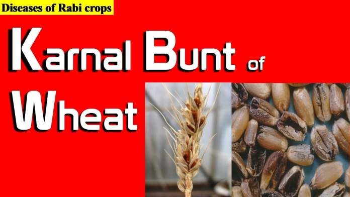 Karnal Bunt of Wheat: Common Questions & Answers