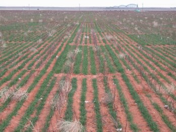 Irrigated wheat variety trial