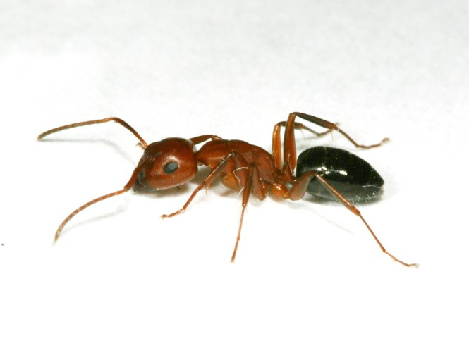 They Are Black Brown Ants With Paler Legs And Antennae The Abdomen Is All Distinguished By Two
