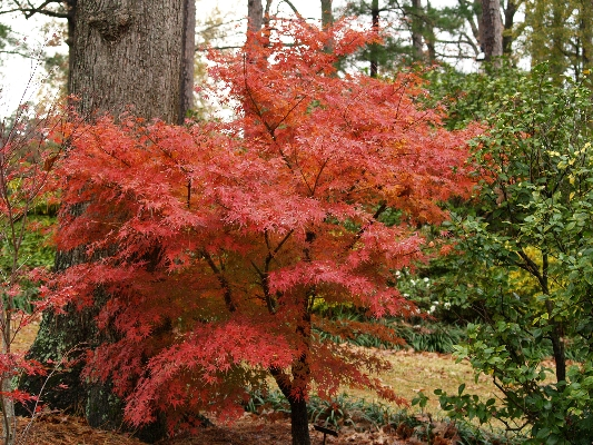 ornamental trees japanese gardens SMALL TREES FOR BIG IMPACTS | East Texas Gardening