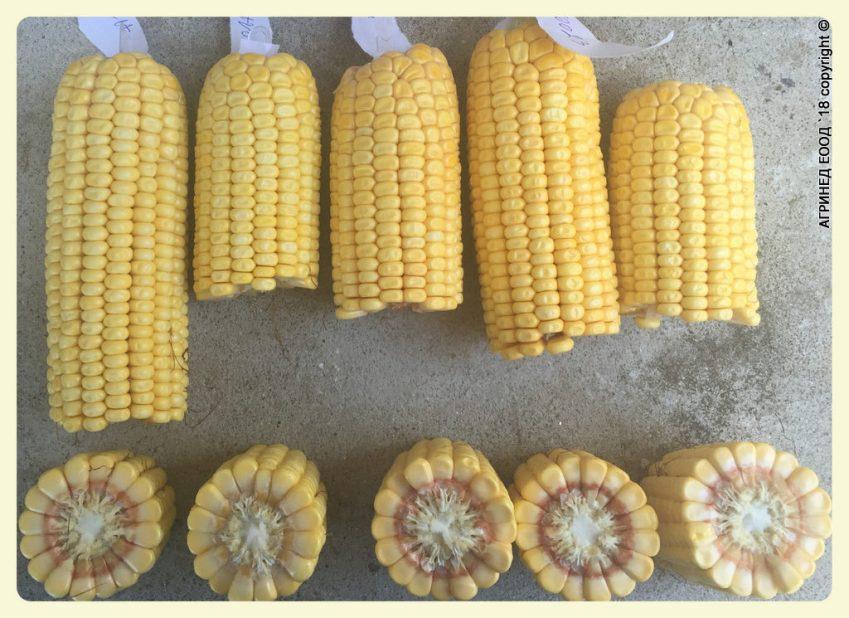 жътва на царевица