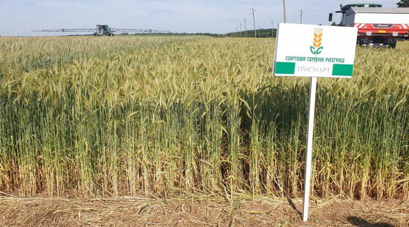 Ден на пшеницата