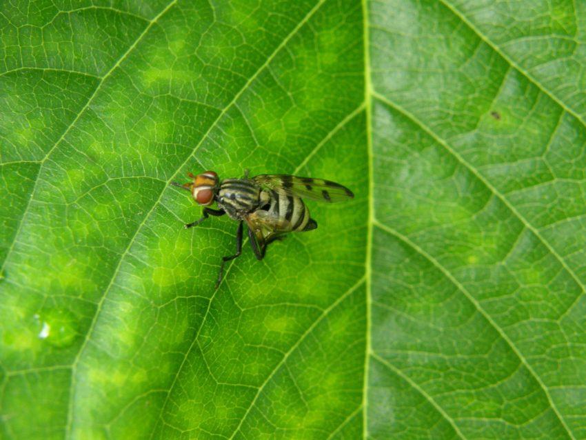 Черешовата муха (Rhagoletis cerasi L.)