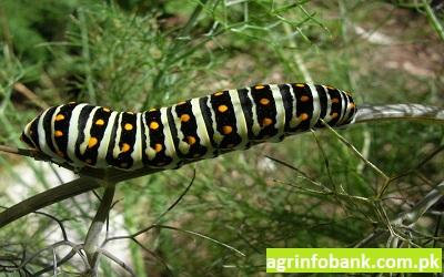 Herb Garden for Swallowtails