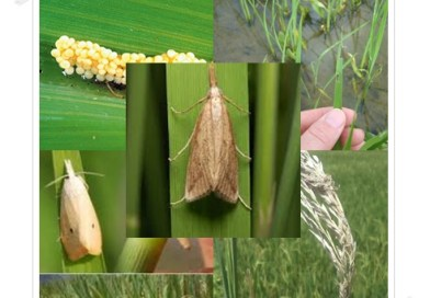 Acceptances of Biological control of rice stem borer and its effect in reducing pesticide