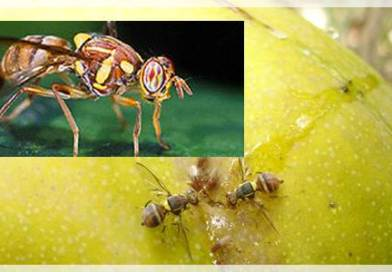 Advisory for fruit fly control