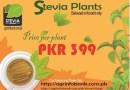 Stevia plants in Pakistan