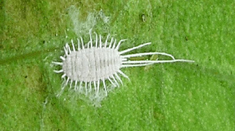 Organic Mealybug Control Indoors and Out