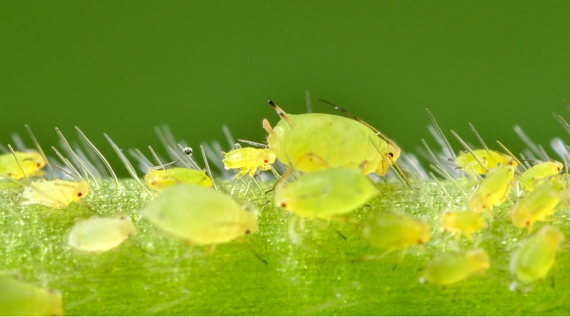Homemade Sprays for Fighting Aphids