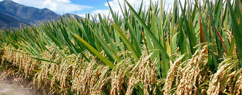 Super Hybrid Rice in Pakistan