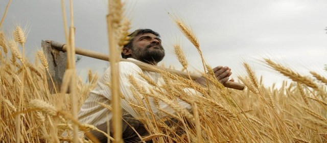 Pakistan hybrid wheat variety to be available by 2022
