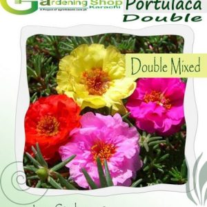 Portulaca Full Double Pink