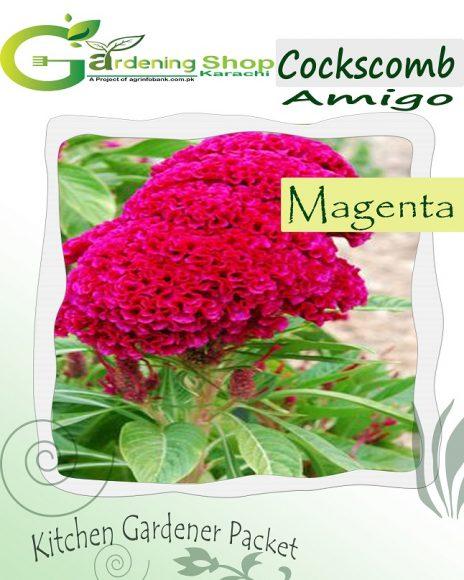 Cockscomb Amigo Magenta