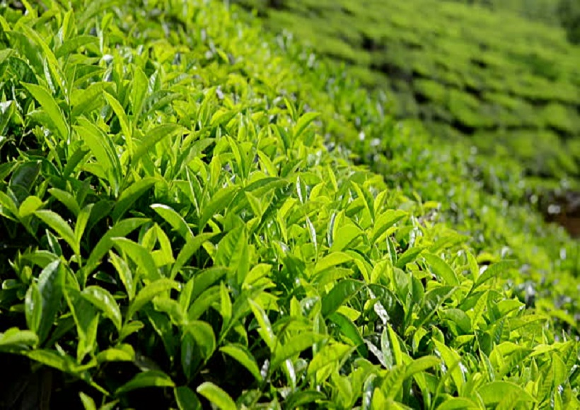 tea cultivation in Pakistan
