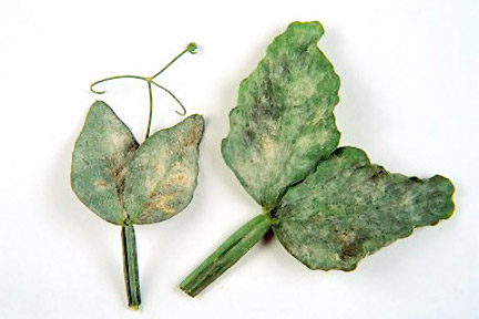 Powdery mildew, Cause and identification