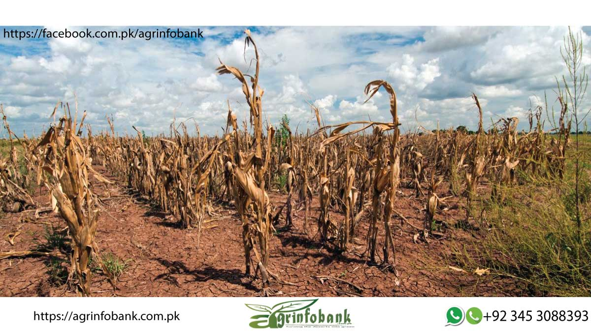 Hit by climate change, agriculture continues to suffer