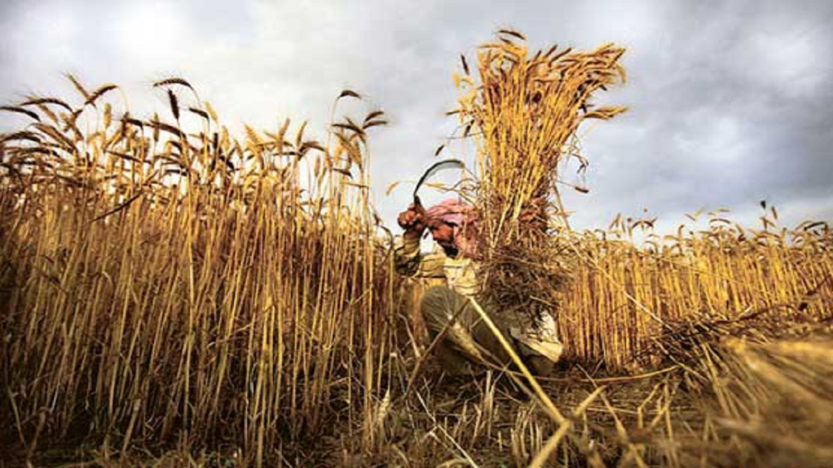 Country to achieve bumper wheat crop during current season