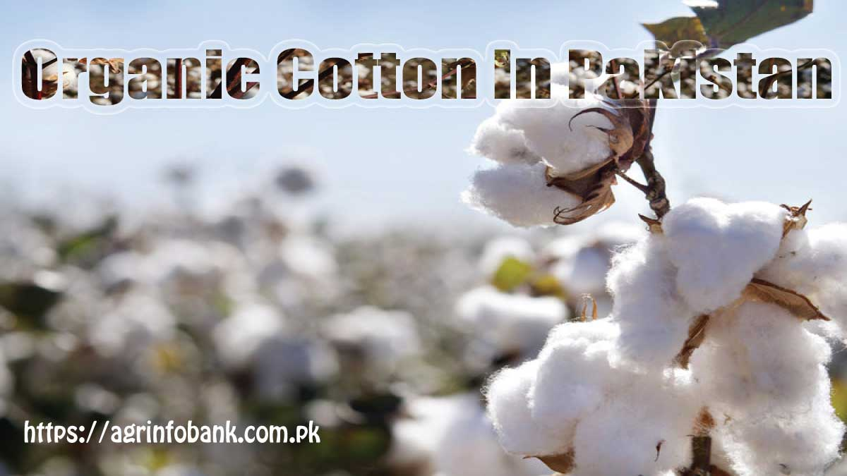 Farmers adopt organic methods to treat common cotton crop bugs