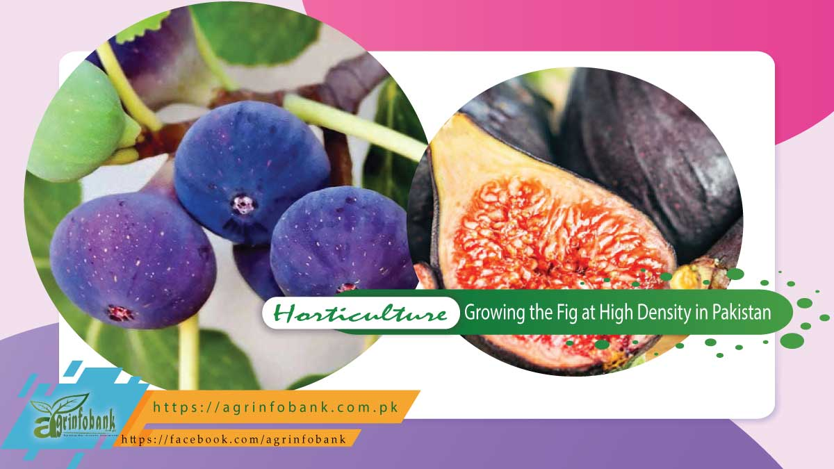 Growing the Fig at High Density in Pakistan