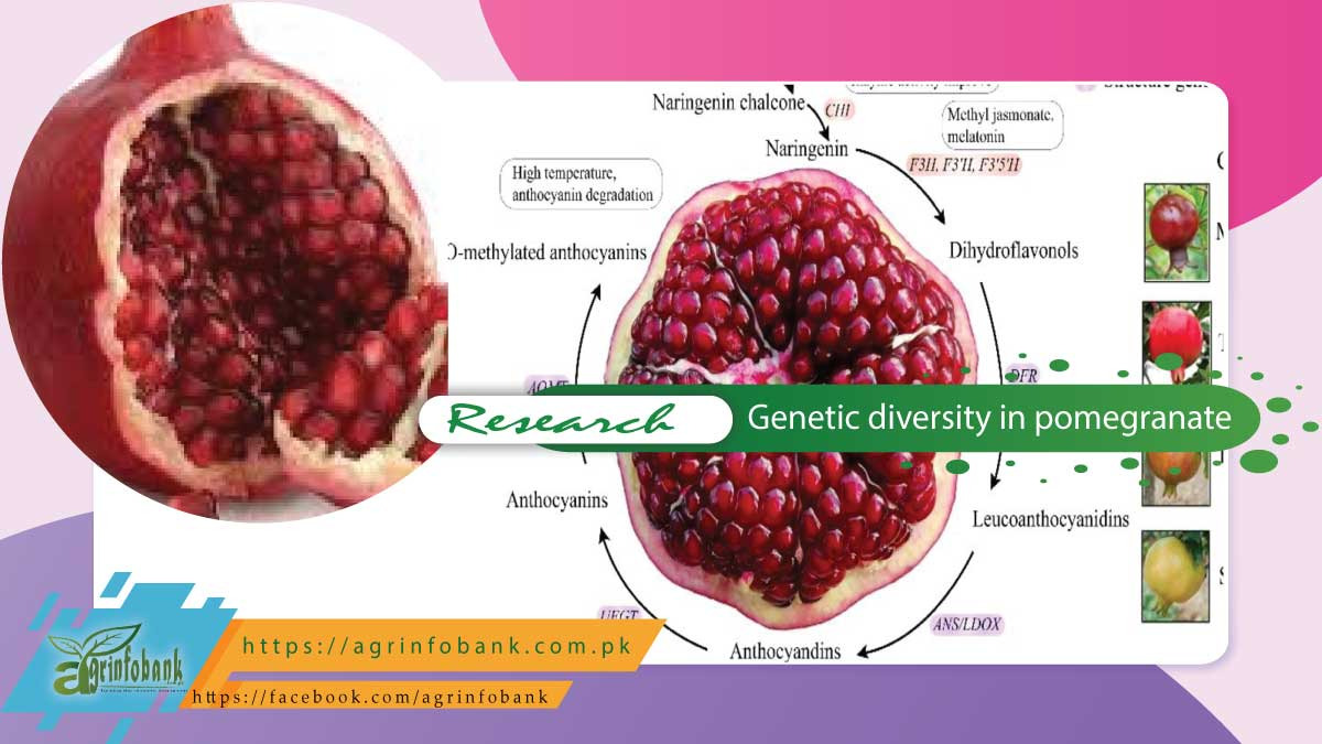 Estimation of morphological, biochemical and genetic diversity in pomegranate (punica granatum l.) Germplasm