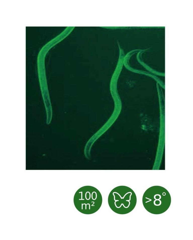Heterorhabditis bacteriophora cool (ab 8°C) - 100 m²