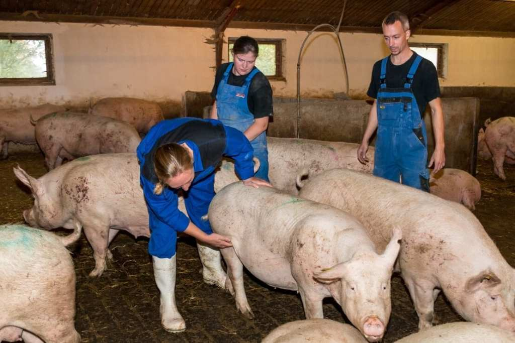 commercial pig farming business pig inspection