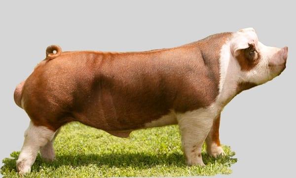 Hereford-boar-pig-breed