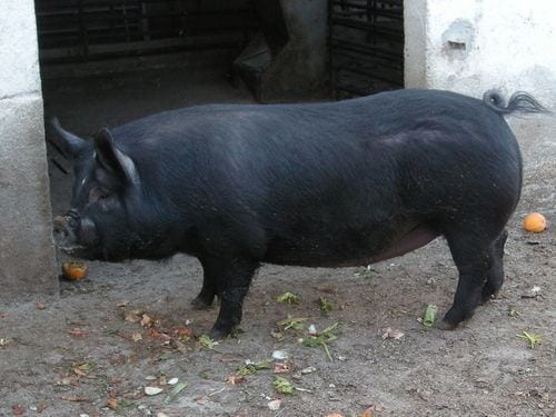 chato-murciano types of pig breeds
