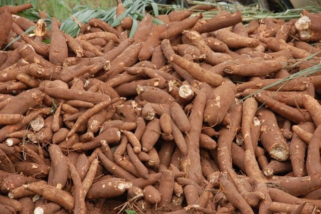 Harvested cassava to be processed into garri
