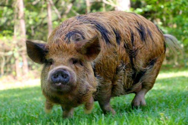 kunekune pig breeds-agro4africa