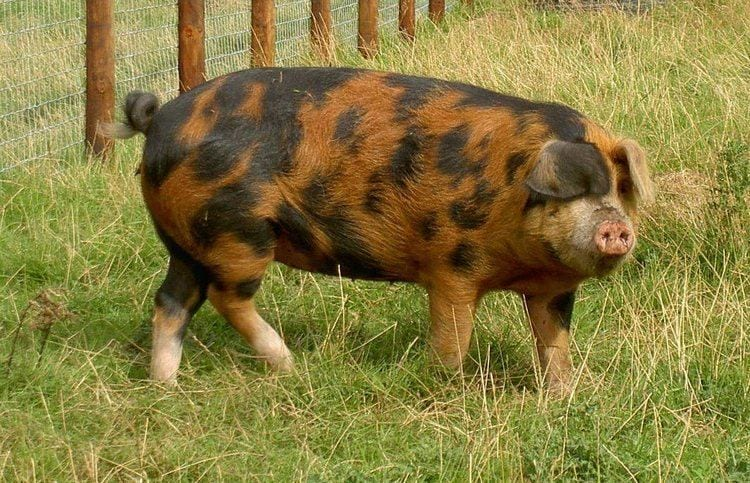 oxford-sandy-and-black-pig-breeds-agro4africa