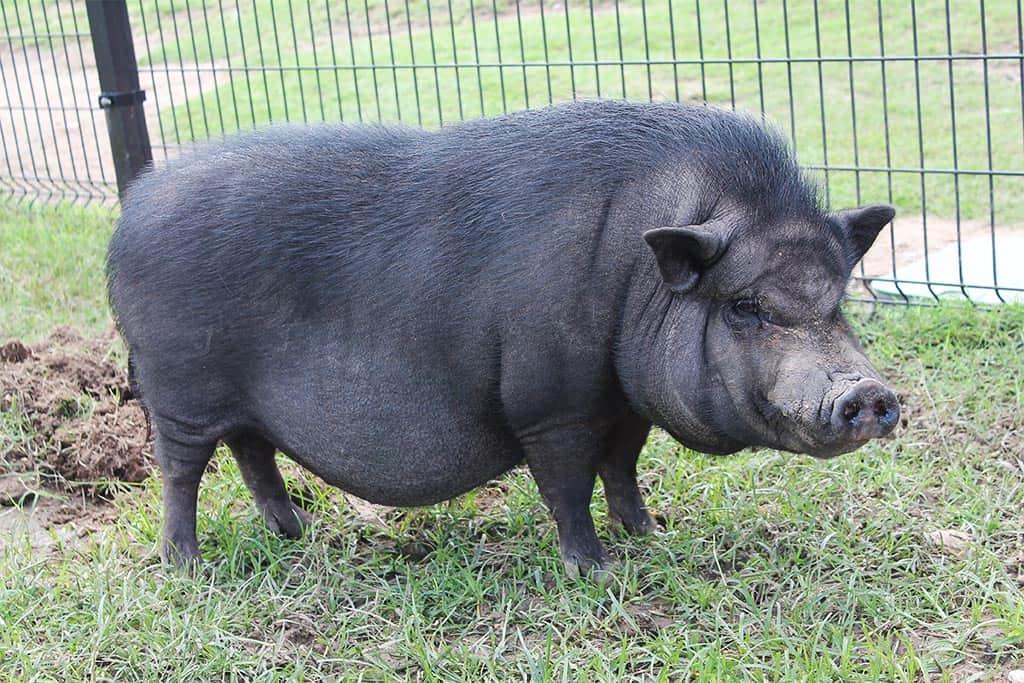 pot-bellied-pig-breeds-agro4africa