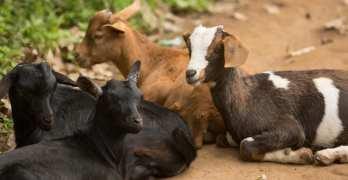 goat-farming-in-africa